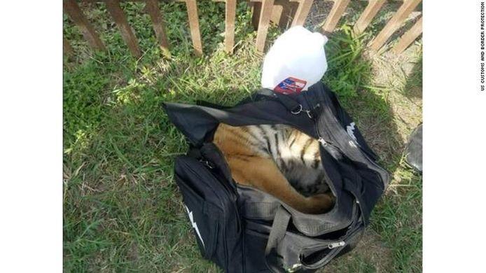 Het jonge tijgerwelpje werd teruggevonden in een rugzak.