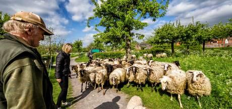Schaapjes van herder Huug grazen hele zomer in IJsselstein