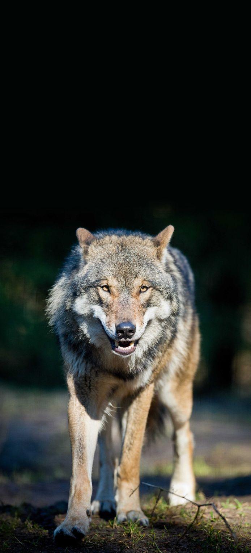 De wolf heeft een beschermde status.