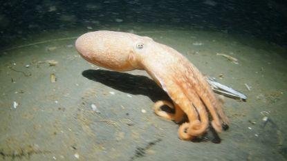Unieke beelden van levende octopus in de Noordzee