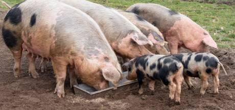 Varkensvoer alleen van afval zoals oud brood en afgekeurde vruchtenhagelslag: dat bestaat nu