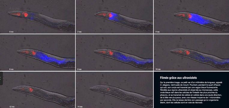 Op een minuscuul wormpje - 1 millimeter 'groot' - zien onderzoekers de dood in actie: een blauwe golf, die begint bij de kop en eindigt in de staart. Dit duurt 15 minuten. Beeld Science&Vie