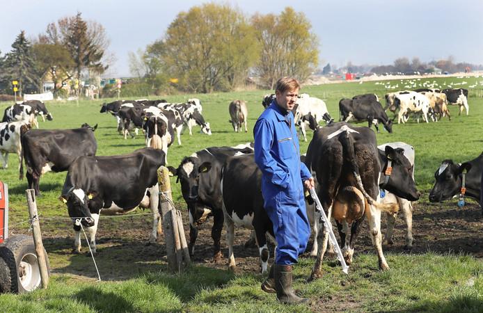 Boer Arie Vaandrager tussen zijn koeien in Hellevoetsluis.