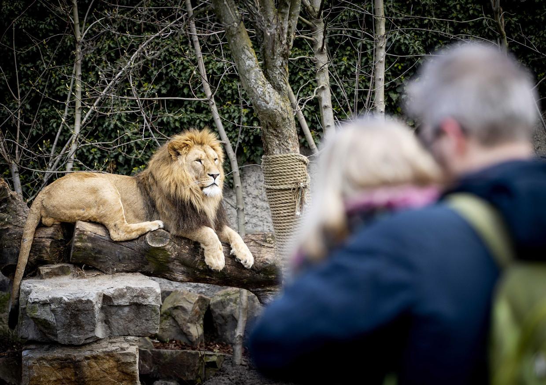 Bezoekers bij het leeuwenverblijf van dierentuin Artis in Amsterdam. Beeld ANP