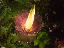 Un pénis de titan en fleur au Jardin Botanique de Meise