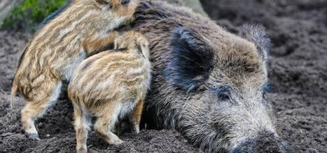Ineens sta je oog in oog! Wat moet je wel en niet doen als je een wildzwijn tegen het lijf loopt?