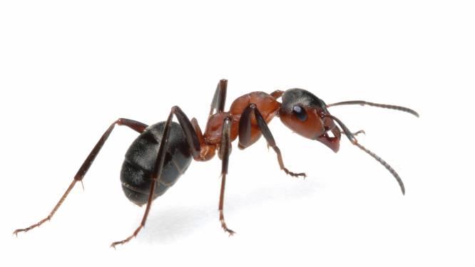 Dit is de eenvoudigste oplossing om vervelende mieren weg te jagen