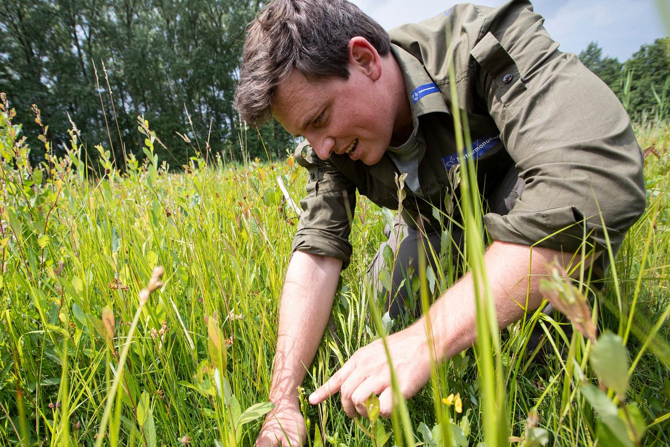 Het is maar een nietig plantje, maar boswachter Ruben Vermeer weet de bijzondere groenknolorchis te vinden.