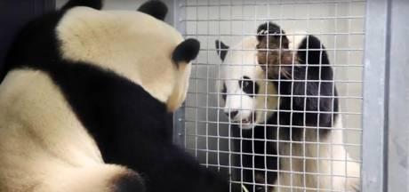 Waarom al die opwinding over parende panda's Xing Ya en Wu Wen?