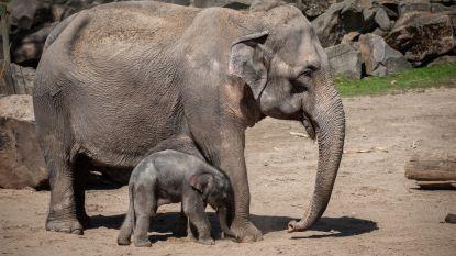 "Zwarte maand voor dierenpark Planckendael: ""Gewoon pech"""