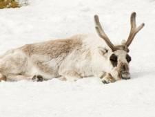 200 rennes retrouvés morts de faim dans l'Arctique
