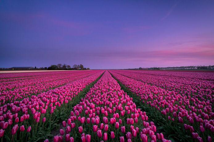 Tulpen - met donkere roze kleur - krijgen een naam met link naar Dronten.