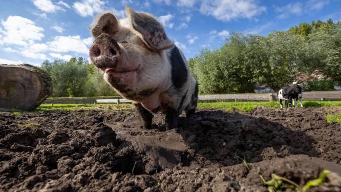 Varken Dirkje (12) kan dankzij inzet van Willemien de laatste dagen tóch slijten bij kinderboerderij Cantecleer