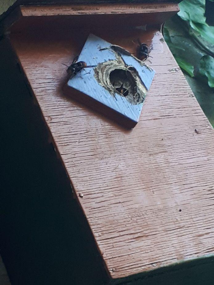Nest hoornaars in Zevenbergsche Hoek, foto geplaatst door Petra op Waarneming.nl