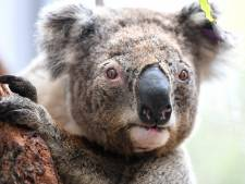 Aantal koala's dat in het wild leeft in drie jaar tijd flink gekrompen