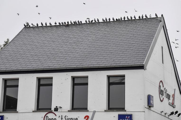 De duiven troepen nu samen op het dak van Depo T' sirque.