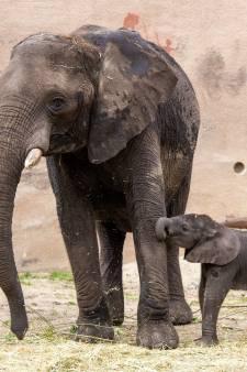 Ouwehands in de ban van babygeluk in olifantenreservaat: waar Duna gaat, gaat Bumi