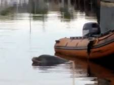 Nieuwe poging om dolfijn Zafar uit Amsterdamse haven te krijgen: 'Water is veel te zoet'