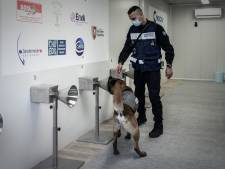 Des chiens formés pour détecter la Covid dans la sueur humaine