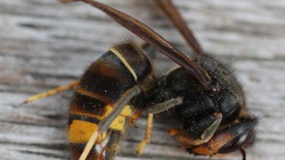 """Aziatische hoornaars rukken op in ons land: """"We moeten ze hard bestrijden als we de honingbij niet kwijt willen"""""""