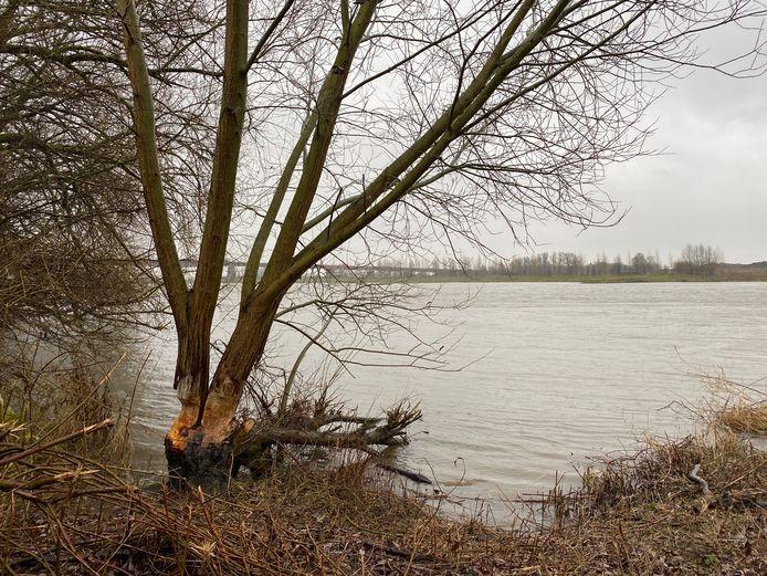 Sporen van de bever in de uiterwaarden bij Rhenen.
