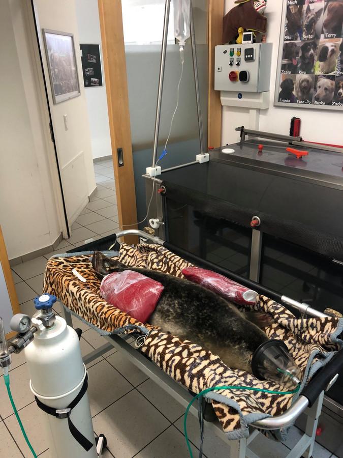 Het jonge zeehondje Carmen op de intensive care.