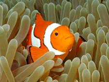 Nemo, le poisson clown, aura bientôt disparu