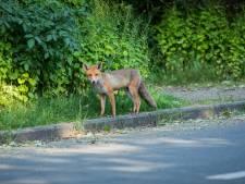 Brutale vos wijkt niet voor fotograaf en kijkt recht in de lens