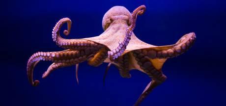Il se fait attaquer par une pieuvre sur une plage en Australie