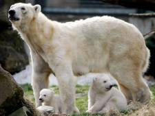 AquaZoo Leeuwarden krijgt ijsbeer uit België