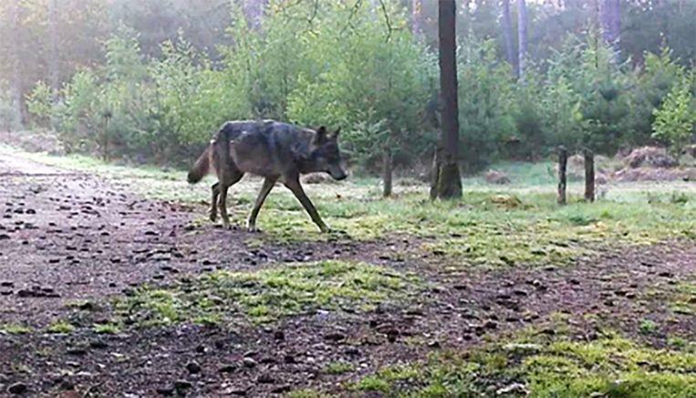 Naya op een van de laatste beelden die van het dier werden gemaakt. Beeld INBO
