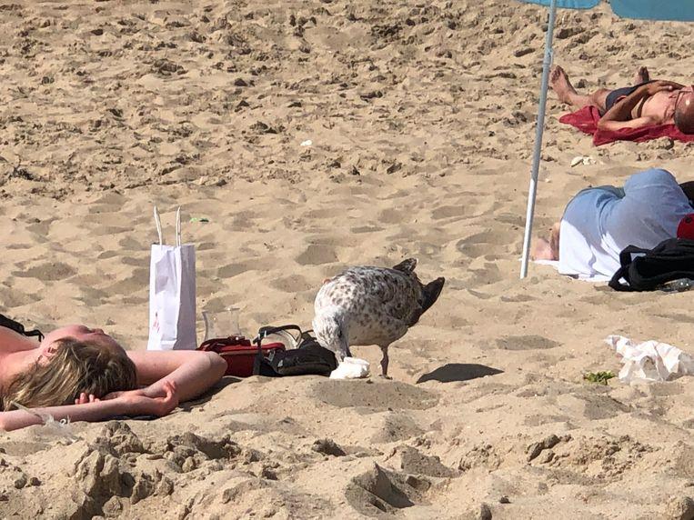 Een meeuw pikt aan een stuk papier dat achtergebleven is op het strand.
