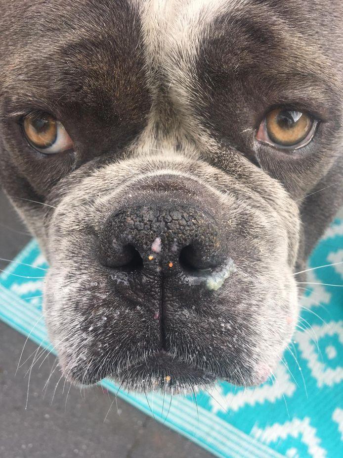 Vito, Old English Bulldog van 2,5 jaar