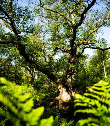Bijna 500 jaar oude Wodanseiken lijden onder droogte