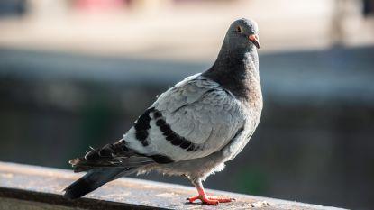 Stad neemt maatregelen tegen duivenprobleem