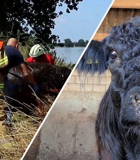 Video van de Dag   Hoe koe Leonarda 12 na een wilde reis 90 kilometer verderop aanspoelde, ongeschonden