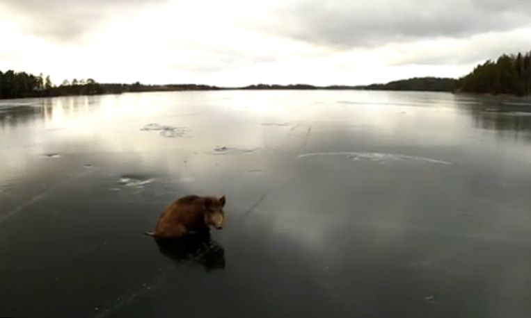 Zweeds zwijn begeeft zich op glad ijs