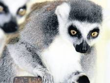 Avifauna wil fokken met derde apensoort