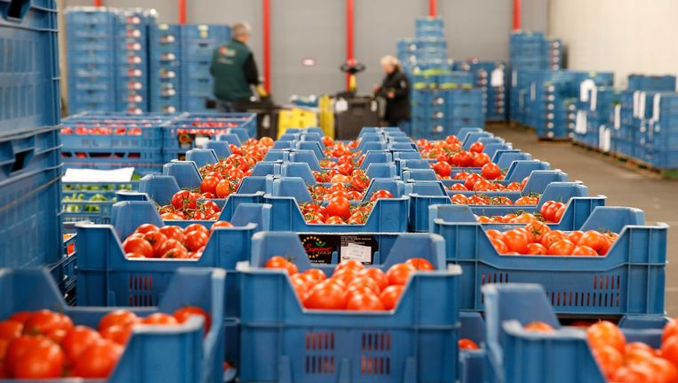 Meer dan 250 ton tomaten zijn vorige week niet verkocht geraakt. Beeld ANP