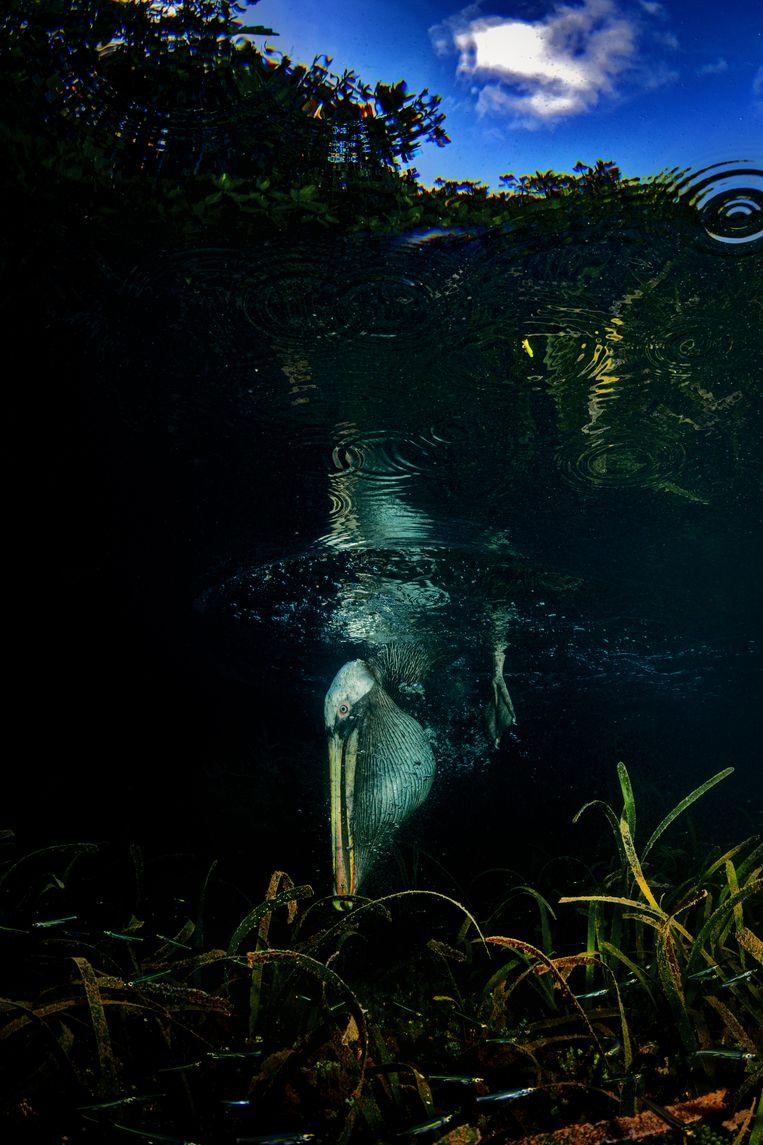 Een pelikaan duikt naar een visje. Beeld Lorenzo Mittiga/INSTITUTE