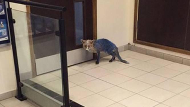Mysterieuze blauwe vos wandelt hotellobby binnen