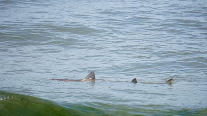 """Gevlekte haai van bijna 1,5 meter gespot in ondiep water van Noordzee: """"Ik dacht, dit kan niet waar zijn!"""""""