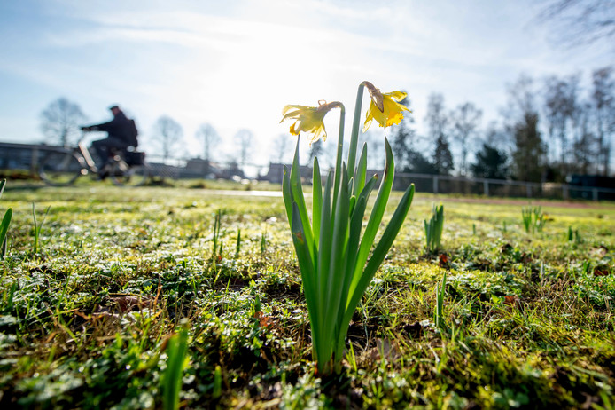 Door het zachte weer beginnen de narcissen al te bloeien op de Randweg Noord Wijchen.