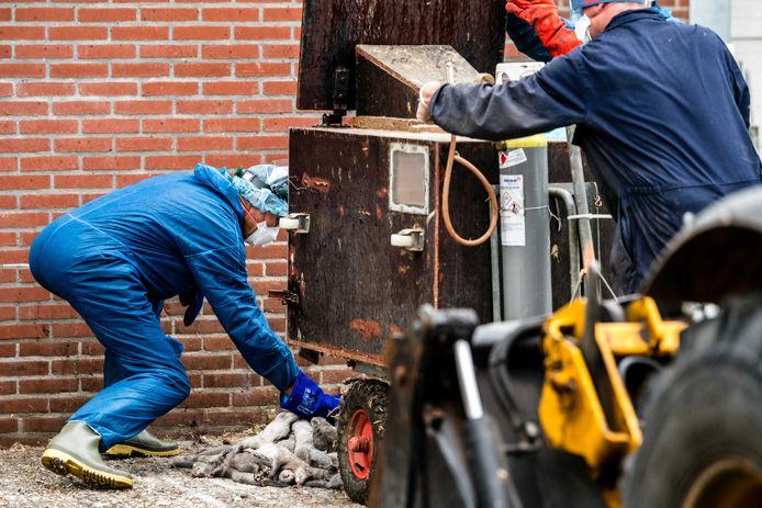 Medewerkers van de NVWA zijn bezig met het ruimen van nertsen op een met corona besmette nertsenfokkerij.