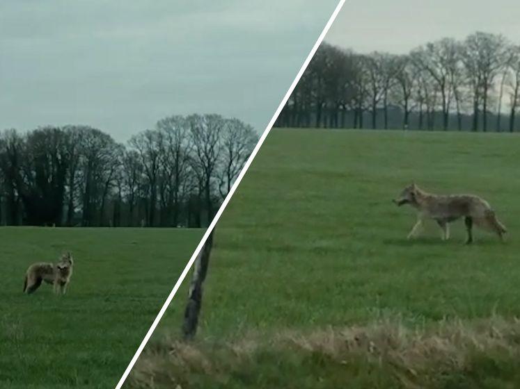 Wolf wandelt over grasveld in Twente en steekt weg over