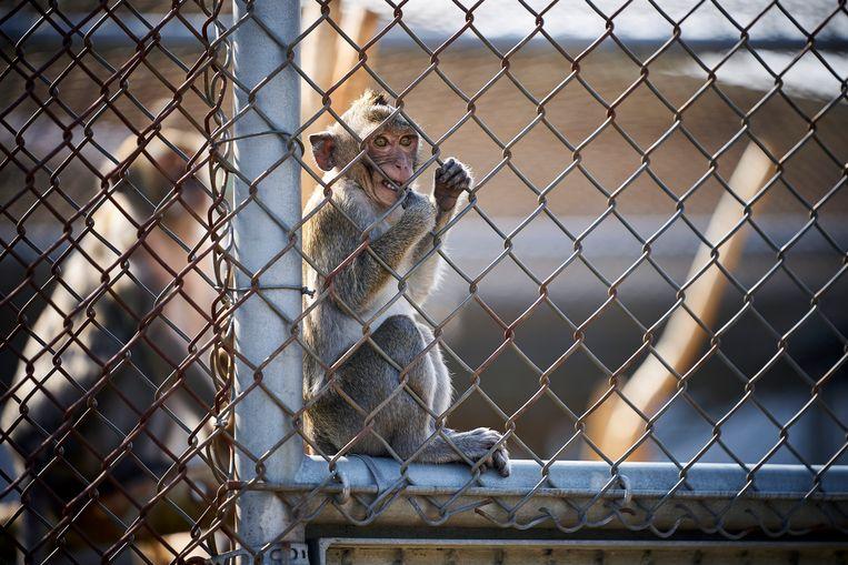 Verschillende coronavaccins en medicijnen worden momenteel getest op apen in het Biomedical Primate Research Centre  in Rijswijk. Beeld Phil Nijhuis