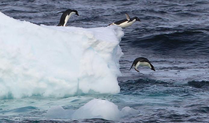 Adéliepinguïns duiken de zee in.