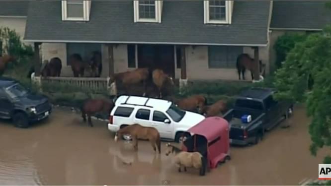 Paarden zoeken toevlucht op veranda voor overstromingen
