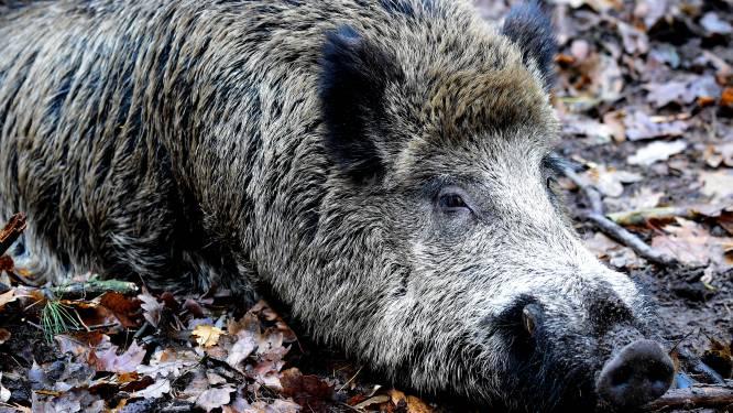 Wild zwijn aangereden op A76 bij Heerlen