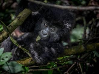 6 opzichters van Congolese Virunga-park vermoord